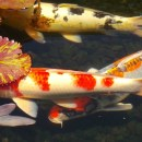Guide to The Fashion Island Koi Ponds in Newport Beach