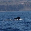 It's a Wonderful Time of The Year for Whale Watching