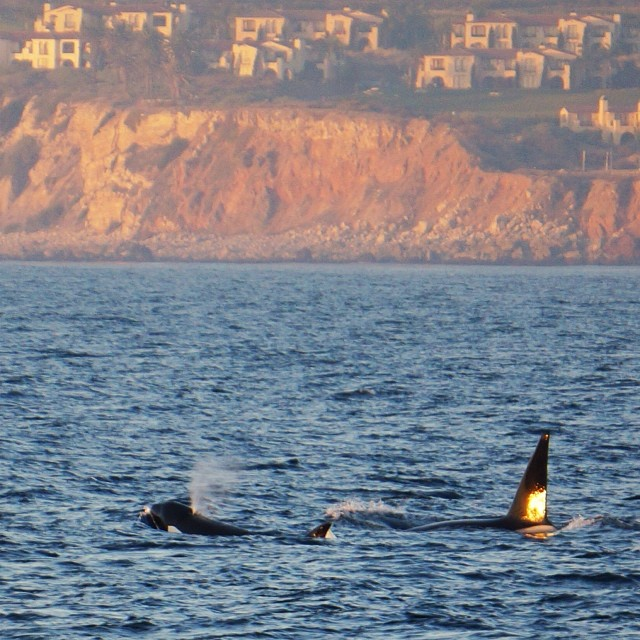 Dad-Baby-Orca-Whale-Orange-County