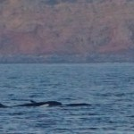 New Year Miracle Spotting of Rare Orca Whales