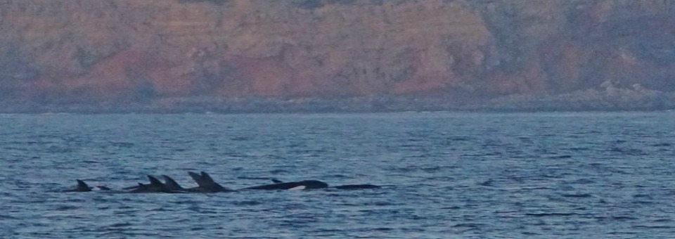 Orca-Whale-Sighting-Orange-County-Header