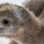 Penguin Chicks to Debut Tomorrow at the Aquarium of the Pacific