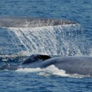 Looking for whales? Let Captain Dave in Dana Point Show the Way