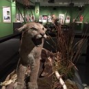 Cougars and Grizzlies: Sharing Their Path at Muzeo Cultural Center