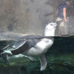 Lily the Penguin Debuts at The Aquarium of the Pacific