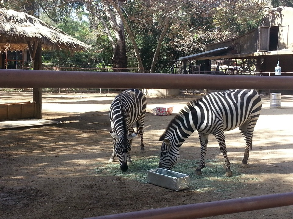 Zebra at Rancho Las Lomas