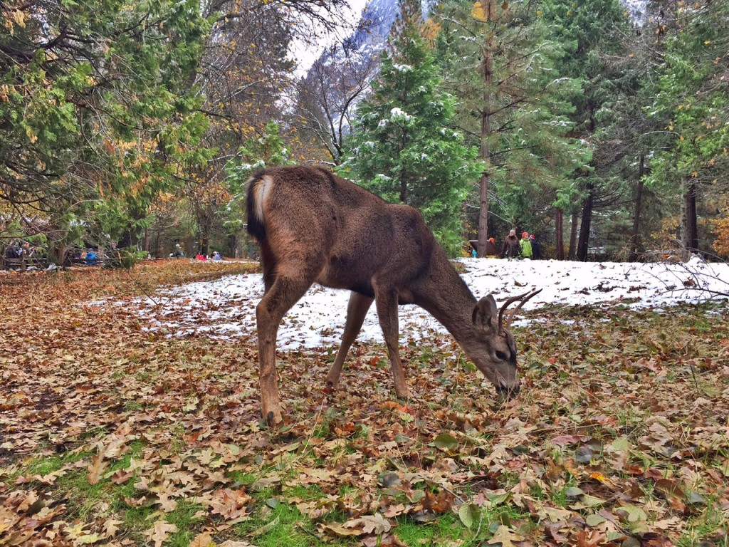 Deer grazing in Yosemite