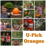 U-Pick Oranges at Irvine Ranch Outdoor Education Center