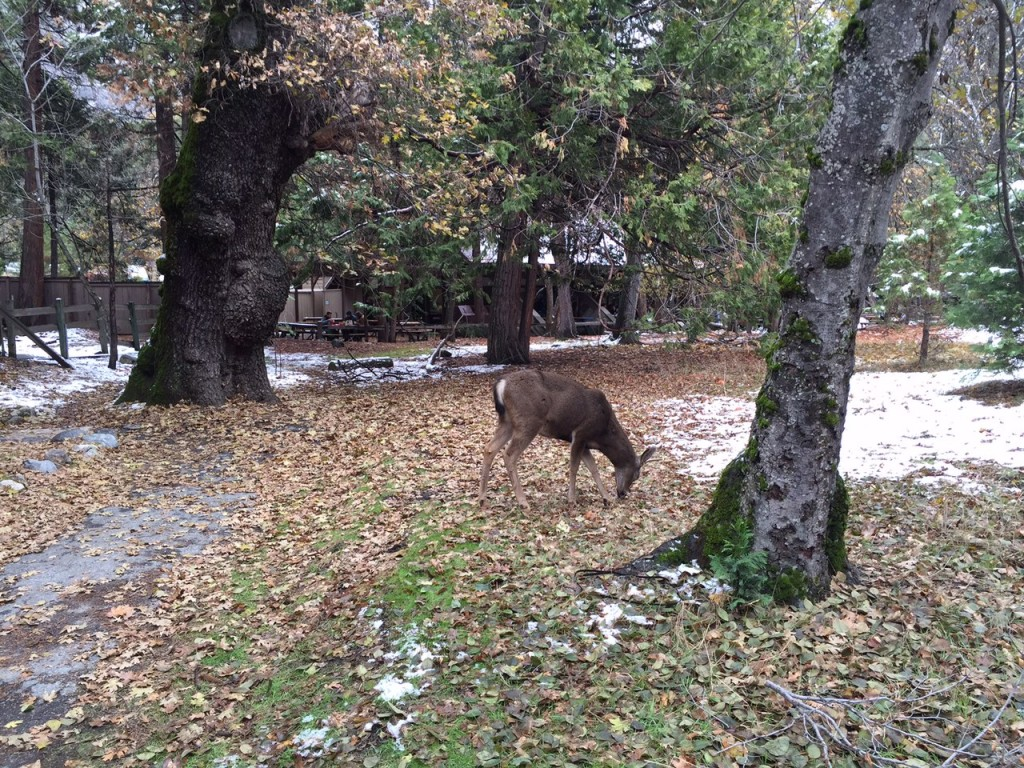 Wild Deer in Yosemite