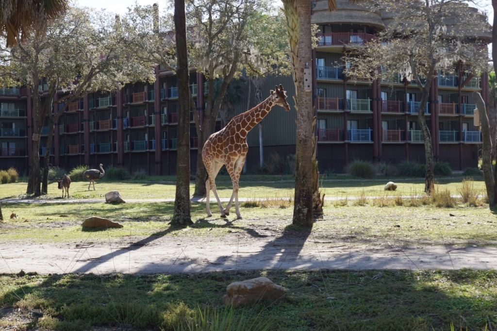giraffe on savanna at animal kingdom