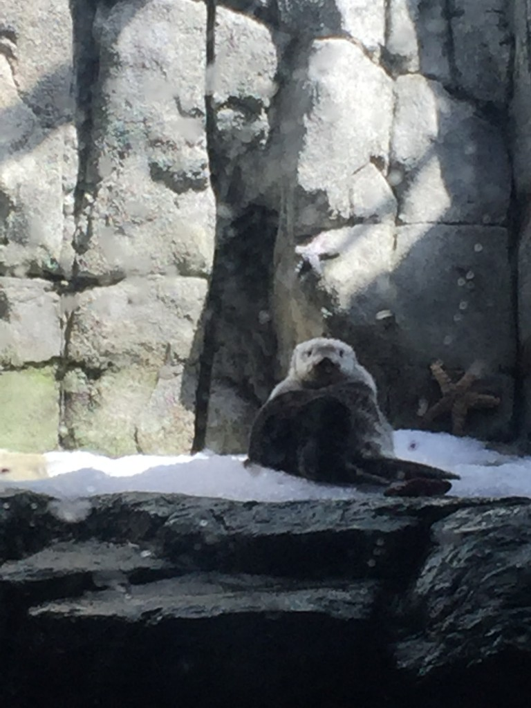 sea otter at the aquarium