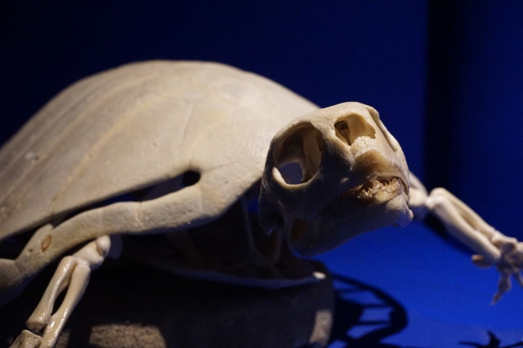 Sea Turtle education at Museo de La Ballena