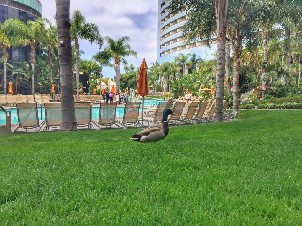 Ducks at the Marriott Marquis San Diego Marina pool