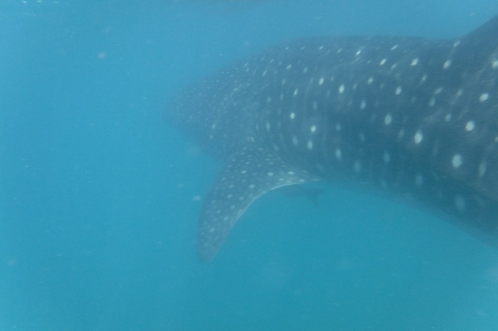 Whale sharks in la paz mexico