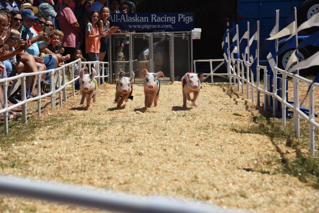 Pig Races at the Fair