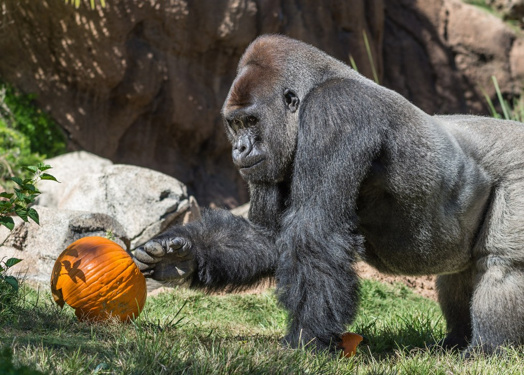 gorilla-and-a-pumpkin-at-the-la-boo-at-the-zoo