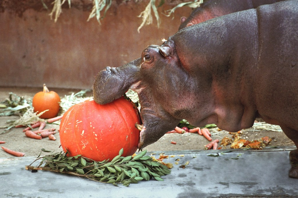 hippo-eating-a-pumpkin-at-boo-at-the-la-zoo