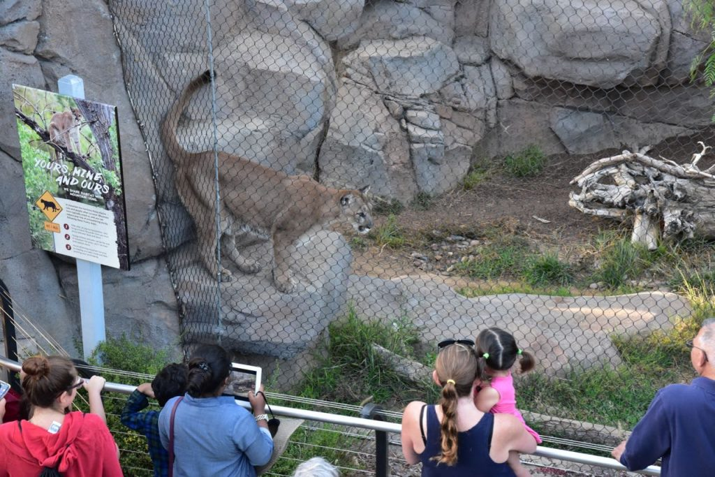 mountain-lion-at-the-san-diego-zoo