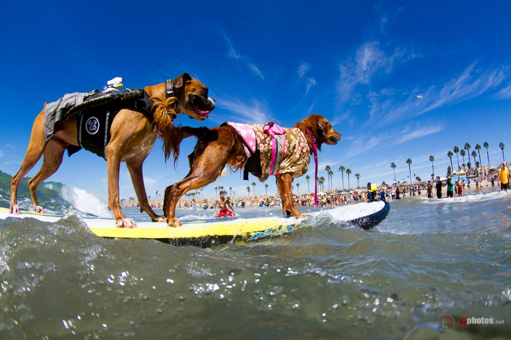 tandem-hanzo-and-kalanie-surf-dog