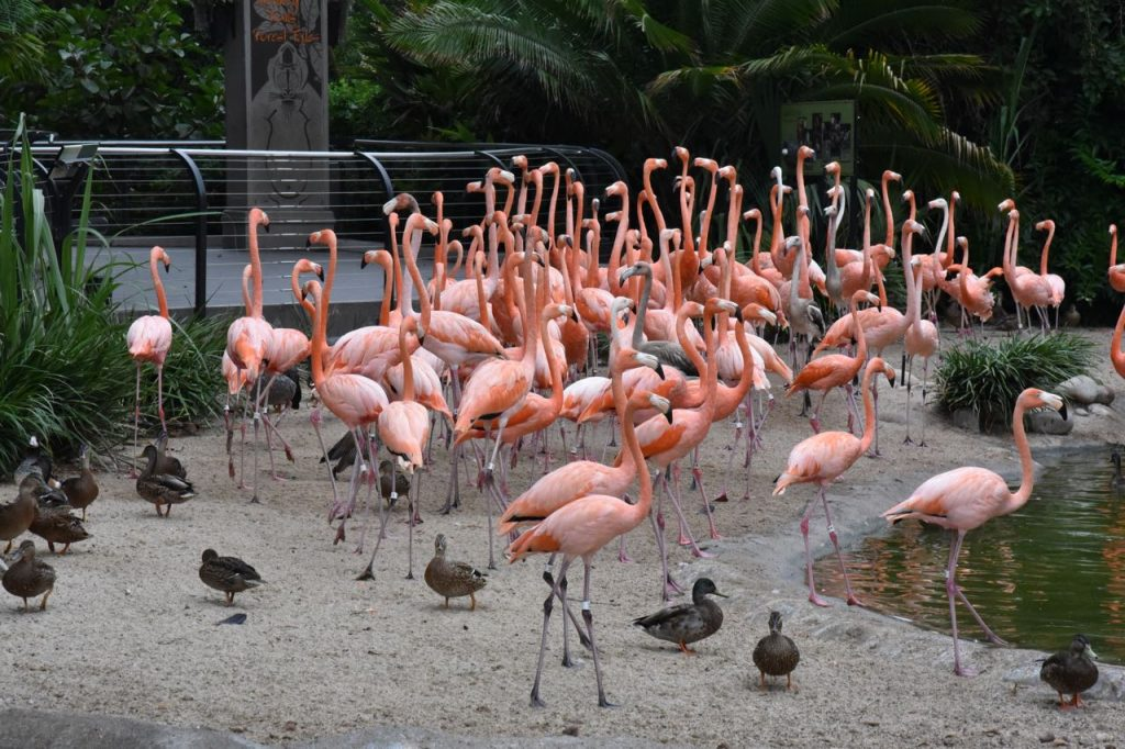 flamingos-at-san-diego-zoo-sleepover