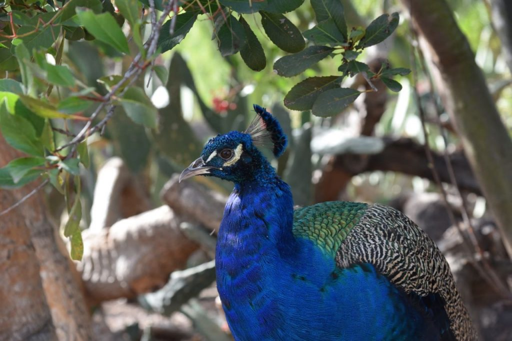 Beautiful peacock at Leo Carrillo Ranch