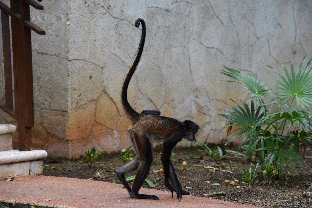Monkey walking around a hotel