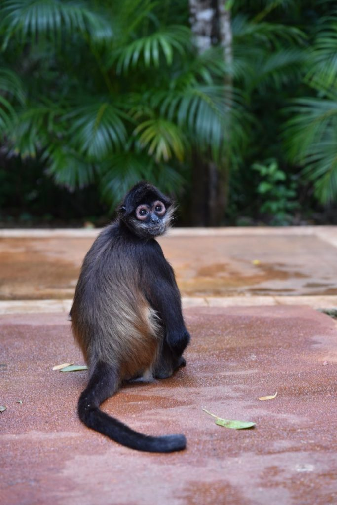 Spider Monkey at the Fairmont in Mayakoba