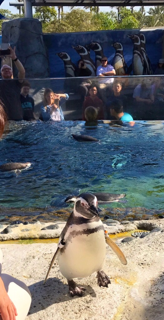Up close with a penguin at the Aquarium of the Pacific