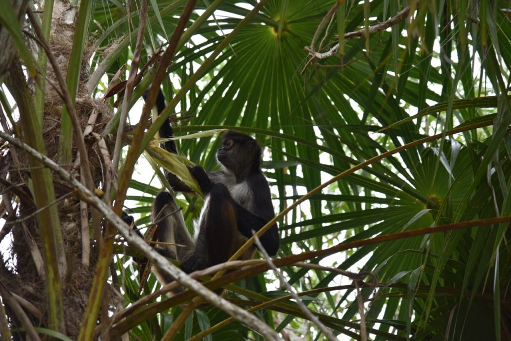 Wild monkey in Mexico