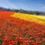 Tickets Available for The Carlsbad Flower Fields