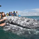Touching Gray Whales in Magdalena Bay Mexico