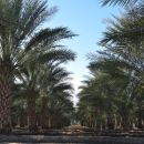 From Tree to Table: Sweet Desert Dates
