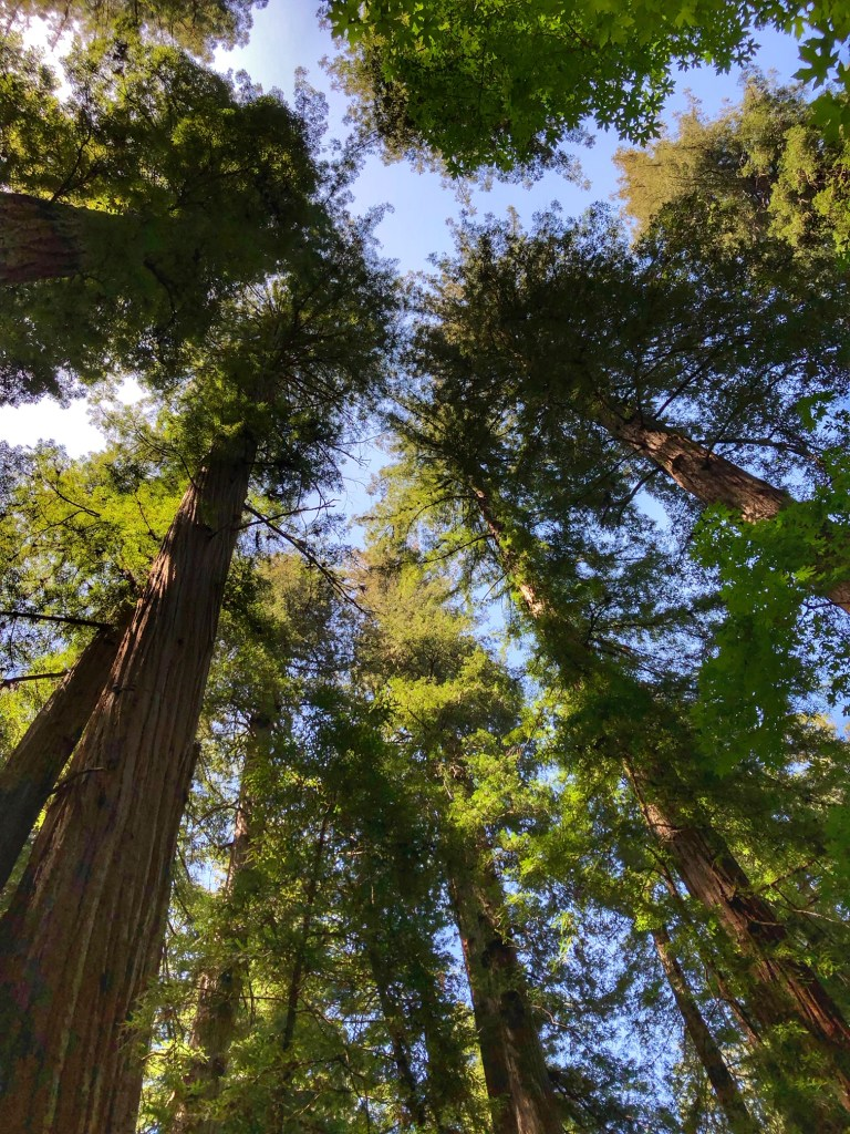 Redwood trees in the Armstrong Redwoods State Natural Reserve