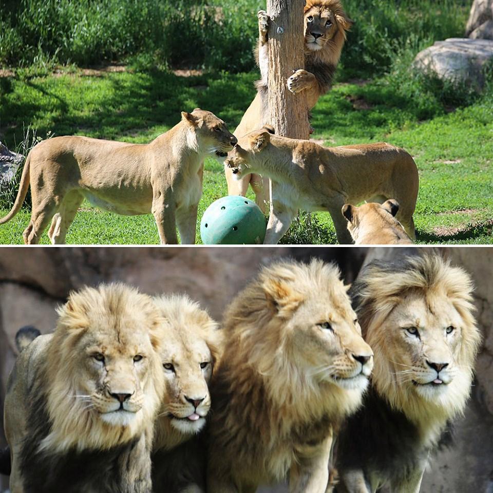 Lions, Denver Zoo