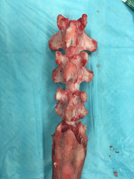 A bovine tail post-dissection