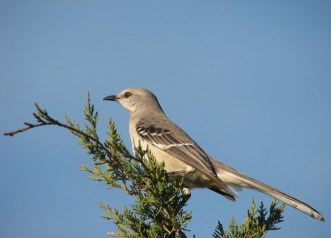 Mockingbird Photo
