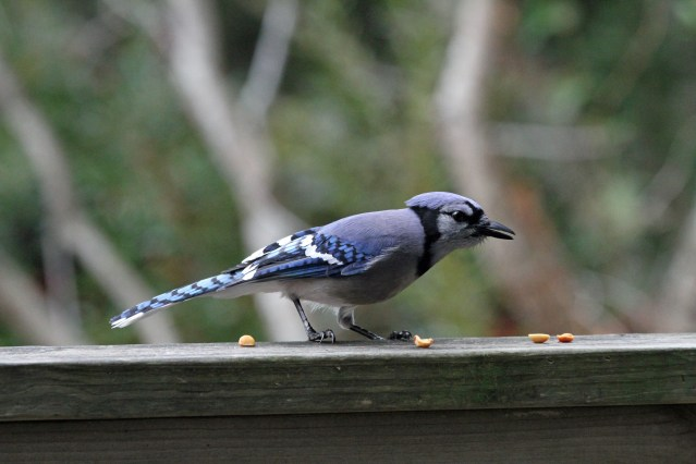 Blue Jay Peanuts PS Ocracoke 096