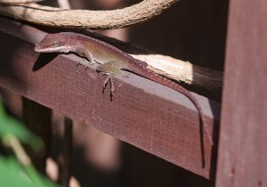 Green anole brown PS crop IMG_9586