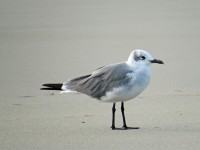 Laughing Gull PS  IMG_0134