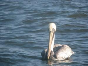 Morty Gaskill brown pelican 2014-11-04 09.06.50