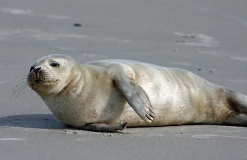 Harbor seal taken Thanksgiving Day, 2007. Photo by P. Vankevich