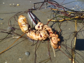 Root found on Ocracoke beach. Photo by Lisa Day Eiland