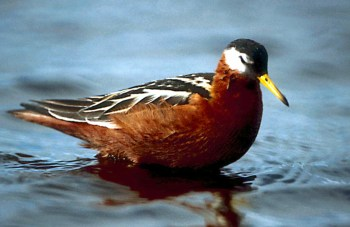 Red Phalarope in breeding plumage. Photo courtesy  of Wikipedia Commons