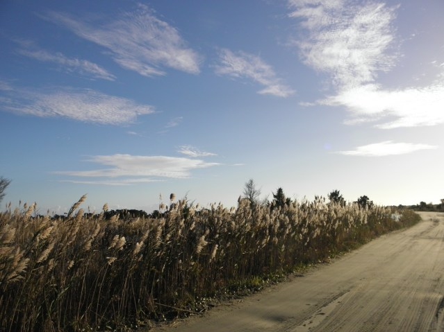 Phragmites along South Point Road. Photo by C. Leinbach