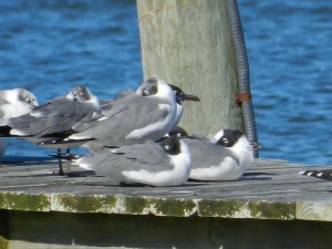 Laughing Gulls resting on the docks of Silver Harbor after their migration from the South.  Photo by P. Vankevich