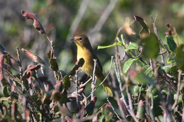 The consensus if that this is a Common Yellowthroat. Photo was taken by Peter Vankevich on the Outer Banks some years ago.