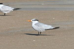 Royal Tern in basic pumage