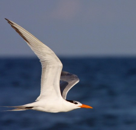 Royal Tern in flight IPS MG_3390