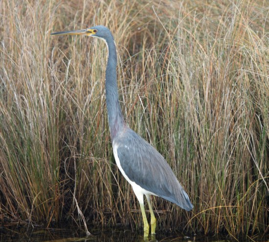 Tricolored Heron. Photo by P. Vankevich