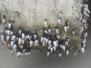 Gooseneck barnacles. Photo by P. Vankevich